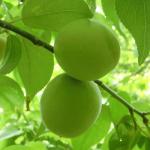 紀州みなべが南高梅の栽培に適している理由